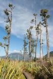Arbres Podocarp en parc national du passage d'Arthur Photo stock