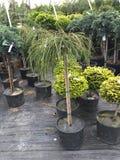 Arbres pour la plantation Image stock
