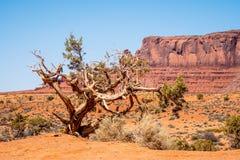 Arbres putréfiés secs à la vallée de monument en Utah images stock
