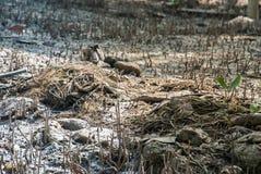 Arbres qui suivent la forêt de palétuvier photos libres de droits