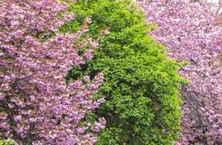 Arbres roses de floraison de Sakura Photo stock