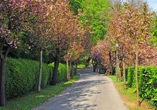 Arbres roses en parc de ville Photos stock
