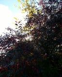 Arbres rouges Photos libres de droits