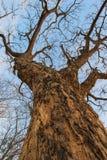 Arbres sans feuilles photo libre de droits