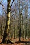 Arbres sans feuilles au stationnement de Dyrehave Images stock