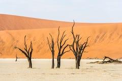 Arbres secs morts étroits de vallée de DeadVlei au désert de Namib Images libres de droits