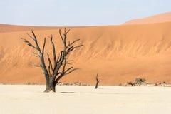 Arbres secs morts étroits de vallée de DeadVlei au désert de Namib Photographie stock libre de droits