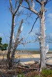 Arbres secs par la plage Photo libre de droits