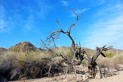 Arbres secs, parc national de Saguaro Image stock