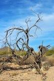 Arbres secs, parc national de Saguaro Image libre de droits