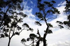 Arbres silhouettés avec de beaux nuages dans le dos Image libre de droits