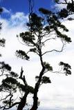 Arbres silhouettés avec de beaux nuages dans le dos Photo libre de droits