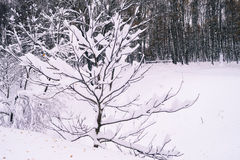 Arbres Snow-covered Photos stock