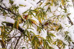 Arbres Snow-covered Images libres de droits