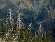 Arbres squelettiques au passage de biscuit de fortune, lacs alpins, chaîne de cascade, Washington photographie stock libre de droits