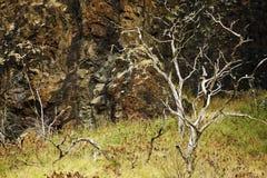 Arbres squelettiques, mur de roche, Oahu, Hawaï Images libres de droits