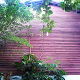 Arbres sur le mur rouge, Thaïlande Image libre de droits
