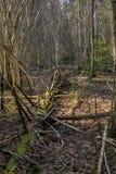 Arbres tombés dans la forêt souvent, en premier ressort image stock