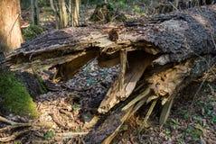 Arbres tombés dans la forêt souvent, en premier ressort photographie stock libre de droits