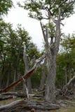 Arbres tombés sur le rivage de Lago Blanco Image libre de droits