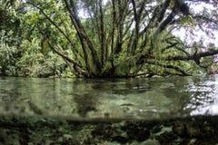 Arbres tropicaux, Epiphytes, et eau en Solomon Islands Photos libres de droits