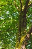 Arbres verts avec de la mousse o Photos libres de droits