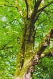Arbres verts avec de la mousse sur le tronc Photographie stock libre de droits