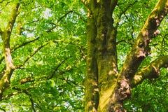 Arbres verts avec de la mousse sur le tronc Image stock