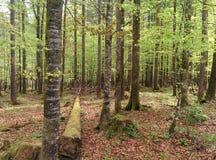 Arbres verts dans la forêt avec un grand vieil arbre s'étendant au sol Photos libres de droits