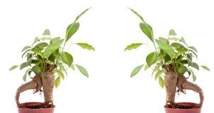 Arbres verts de bonsaïs Photo stock
