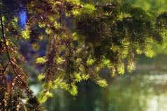 Arbres verts en parc d'été Nouveau jeune sapin Images libres de droits