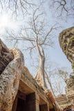 Arbres vieux d'un siècle, merci temple de Prohm, Angkor Thom, Siem Reap, Cambodge Photographie stock