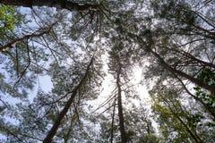 Arbres vus du fond avec le soleil rayonnant vers le bas par ses branches Images libres de droits