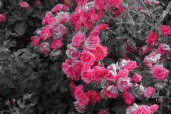 Arbuste avec de belles fleurs roses - noires et blanches Photos stock