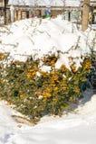 Arbuste avec les baies jaunes sous la neige dans Pomorie, hiver de la Bulgarie Images stock