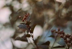 Arbuste avec les bourgeons fermés Photographie stock libre de droits