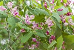 Arbuste avec les fleurs pourpres Images stock