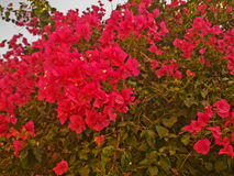 Arbuste avec les fleurs rouges lumineuses Images stock