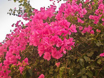 Arbuste avec les fleurs rouges lumineuses photographie stock libre de droits
