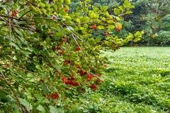 Arbuste avec un bon nombre de baies rouges sur des branches images libres de droits