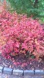 Arbuste coloré Image libre de droits