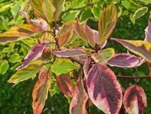 Arbuste coloré avec des feuilles photographie stock libre de droits