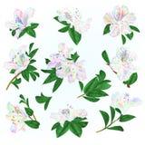 Arbuste color? multi de montagne de rhododendrons et de feuilles de fleurs sur une illustration bleue de vecteur de cru de fond e illustration libre de droits