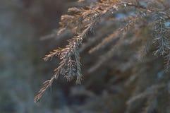 Arbuste conifére de Brown en hiver - plan rapproché de branche photographie stock