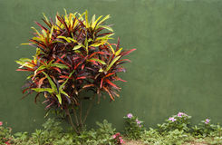 Arbuste contre un mur vert Image libre de droits