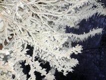 Arbuste couvert par gel Images stock
