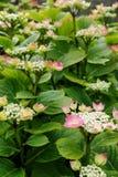 Arbuste d'hortensia avec des fleurs d'ouverture et des bourgeons serrés Photo libre de droits