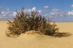 Arbuste dans le désert Photo libre de droits