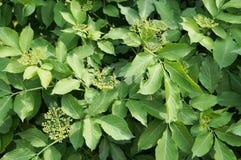 Arbuste de baie de sureau avec des feuilles de vert et des bourgeons serrés Photographie stock