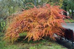 Arbuste de berbéris avec les fruits rouges photo libre de droits